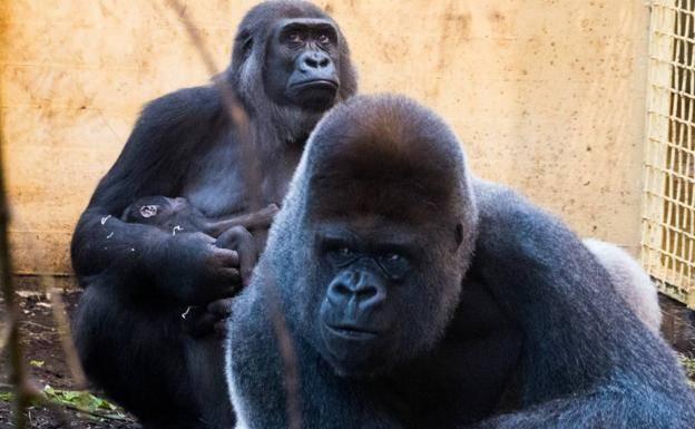 Un bebé gorila, la última incorporación a la familia de Cabárceno